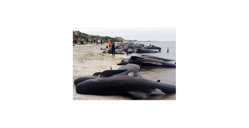 Race to save 100 stranded whales